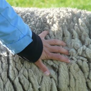 sheepskin-57713